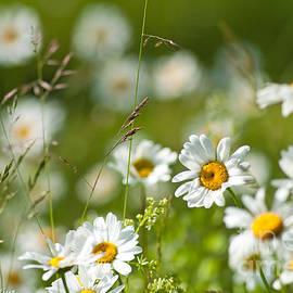 Torbjorn Swenelius - Summer Meadow