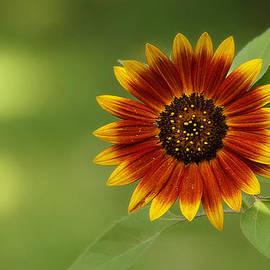 Summer Sunflower 3 by Scott Hovind