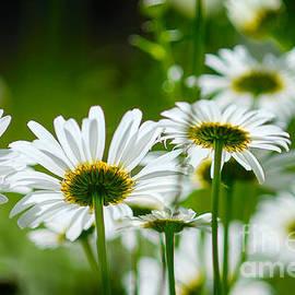 Alana Ranney - Summer Time Daisys