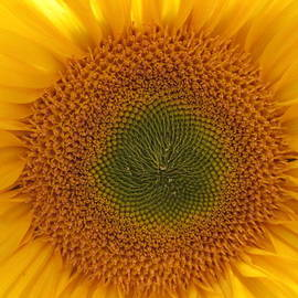 Sun Flower Dream - No Border by John Shiron