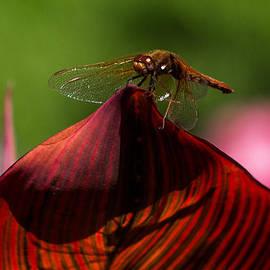Sunbathing Dragonfly by Jordan Blackstone