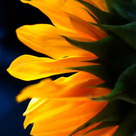 Sunflower 2 by Jacqueline Athmann