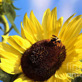 Sunflower and Bee-3879 by Gary Gingrich Galleries