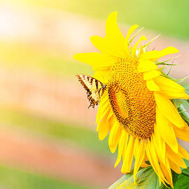 Sunflower and butterfly by Alexey Stiop