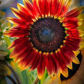 Robert Bales - Sunflower Beauty