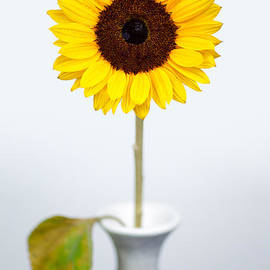 Sunflower by Dave Bowman