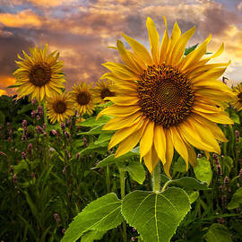 Sunflower Dusk by Debra and Dave Vanderlaan