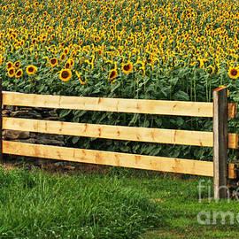 Sunflower Fence by Marcel  J Goetz  Sr