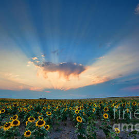 Jim Garrison - Sunflower Field at Sunset