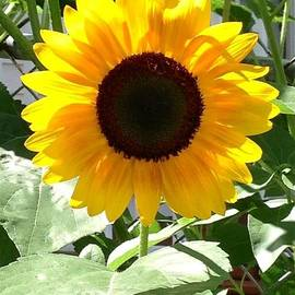 Sunflower Looking Toward The Sun by Shawn Hughes