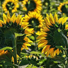 Sunflower Nirvana 49 by Allen Beatty