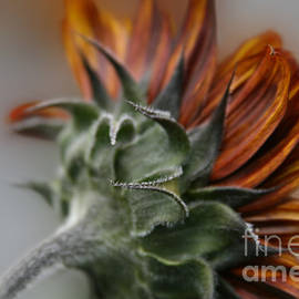 Sharon Mau - Sunflower