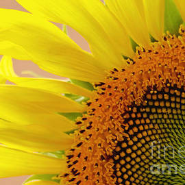 Sunflower Floral Macro Close-up by Carol F Austin