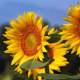 Sunflowers-2534 by Gary Gingrich Galleries