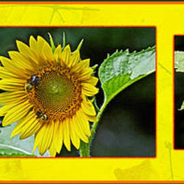 Mother Nature - Sunflowers - A Portrait In YHellow