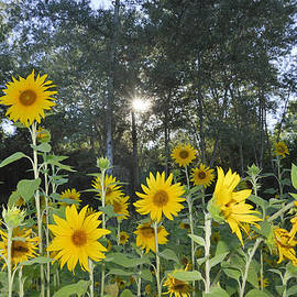 Guido Montanes Castillo - Sunflowers in the forest