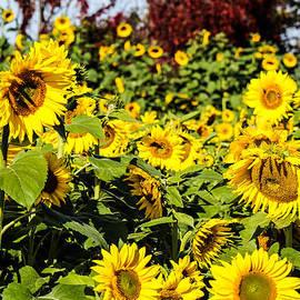 Julien Boutin - Sunflowers