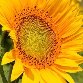 Sunkissed Sunflower by Regina Geoghan