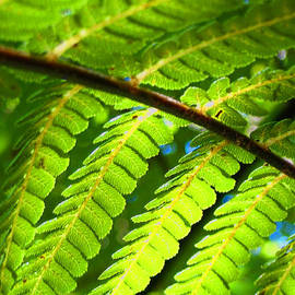 Sunlight through fern frond by Amber Nissen
