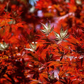 Sunlit Japanese Maple by Rona Black