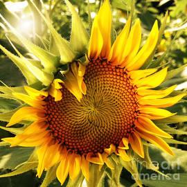 Chris Scroggins - Sunny Sunflower