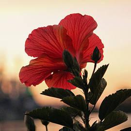 Cynthia Guinn - Sunset Flower