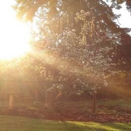 Sunshine On My Favorite Pear Tree All