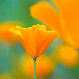 Sarah-fiona  Helme - Sunshine Poppy