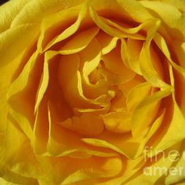 Sunshine Yellow Rose by Tara  Shalton