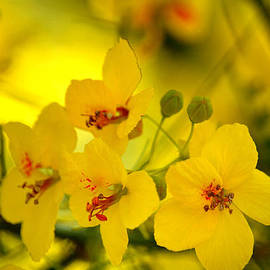 Sunshine Yellow by Deb Halloran