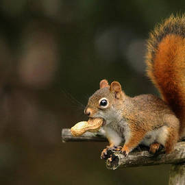 Surprised Red Squirrel With Nut Portrait by Debbie Oppermann