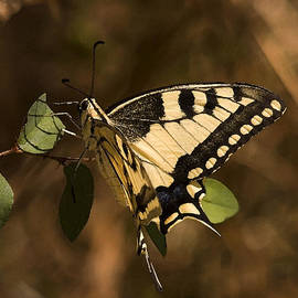 Swallowtail Butterfly by Cliff Norton