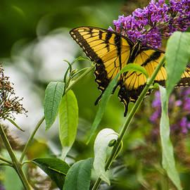 Jon Woodhams - Swallowtail Butterfly