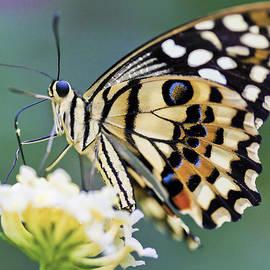 Swallowtail Butterfly by Maj Seda