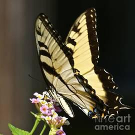 Swallowtail on Lantana by AnnaJo Vahle