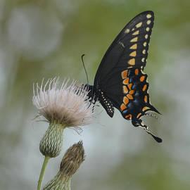 Swallowtail on  by Patricia Twardzik