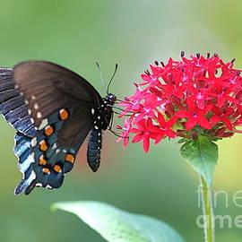 Pamela Gail Torres - Swallowtail
