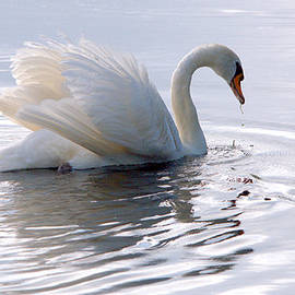 Roy Williams - Swan Bathed In Morning Light Series - 4