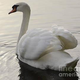 Swan Elegance by Bob Christopher