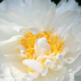 The Art Of Marilyn Ridoutt-Greene - Sweet Peony