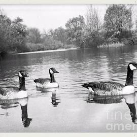 Swimming Geese-  Vintage Photograph by Luther Fine Art