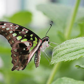 Tailed Jay Butterfly #3 by Judy Whitton