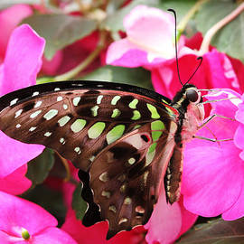 Judy Whitton - Tailed Jay Butterfly #4