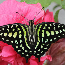 Judy Whitton - Tailed Jay Butterfly #6