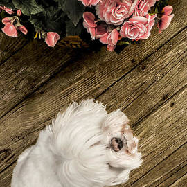 Charlie Cliques - Havanese Puppy
