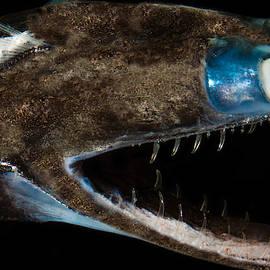 Telescopefish Gigantura Sp