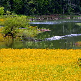 Tennessee Black-eyed Susan Field by Kathy Barney