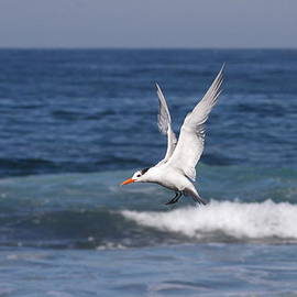 Tern in the Surf by Ruth Jolly