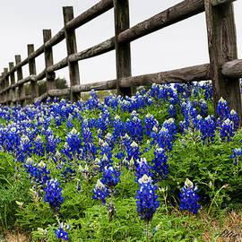 Texas Bluebonnets by Allen Biedrzycki