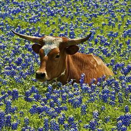 Texas Longhorn  by John Babis